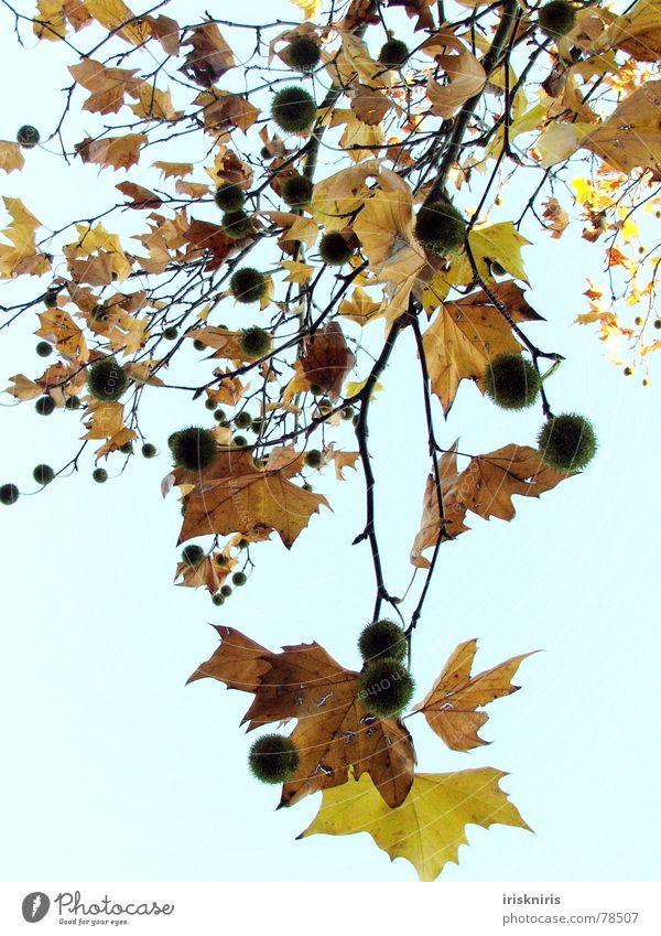 Herbstlocken Natur Blatt Momentaufnahme Schutzdach Baum kalt trocken ruhig Vergänglichkeit Jahreszeiten Herbstbeginn Kastanienbaum gold fallen tree Ast Himmel