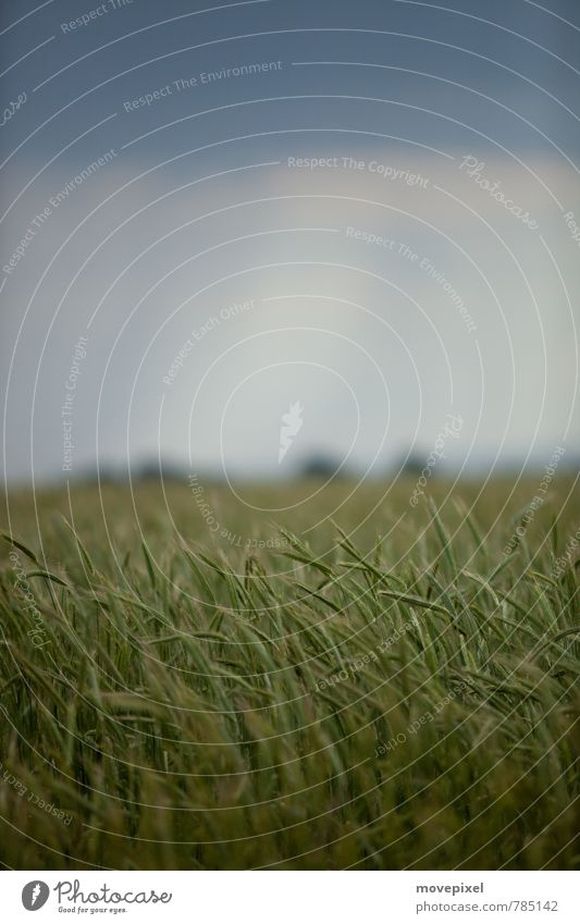 Weizenfeld Himmel Natur blau grün Pflanze Sommer Landschaft Feld Wachstum Nutzpflanze schlechtes Wetter Gewitterwolken Weizenähre
