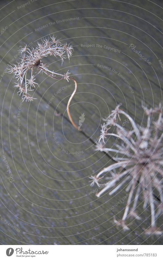 Krumm gewachsen... Pflanze Blume getrocknet Riss Spalte Strukturen & Formen Holz stehen verblüht dehydrieren elegant kalt stachelig trocken grau standhaft Tod