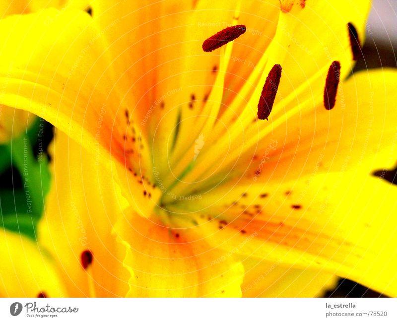 Blüte beschwingt Farbgestaltung Leben wirklich Lebenslauf Stempel geschniegelt Lilien Blume gelb rot schön Freundlichkeit mehrfarbig Sommerblumen purpur Eigelb