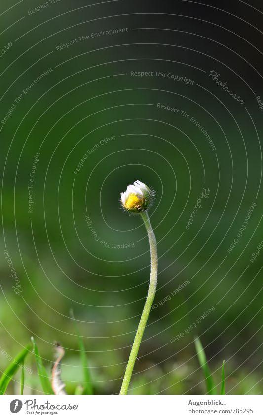 kleines Gänseblümchen... Natur Sommer Umwelt Leben Wiese Garten Park Zufriedenheit Lebensfreude