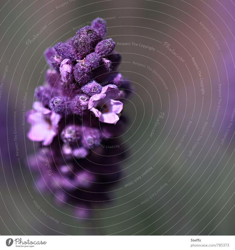 violett blüht Lavendel Alternativmedizin Wohlgefühl Erholung Duft Umwelt Natur Pflanze Sommer Blüte Nutzpflanze Heilpflanzen Gartenpflanzen Kräuter & Gewürze