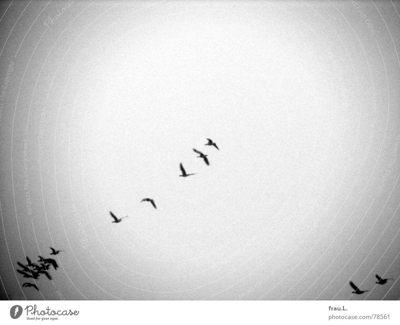 Zugvögel Winter Ferien & Urlaub & Reisen Tier Vogel Luftverkehr Richtung Gans Süden Formation Schwarm Zugvogel Wildgans Wildvogel