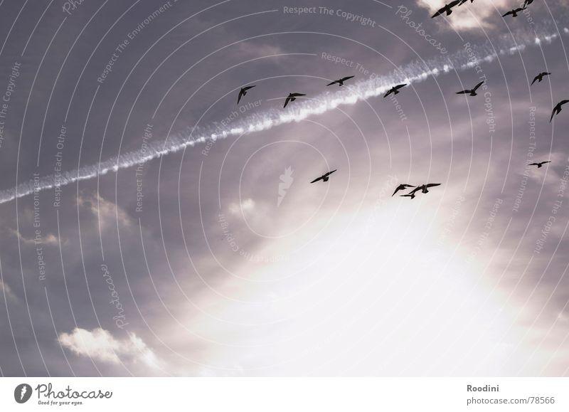en plein air Zusammensein Wolken Sommer Herbst Vogel Zugvogel Schweben Streifen Kondensstreifen Licht himmlisch Himmel Sonne fliegen frei Freiheit mehrere