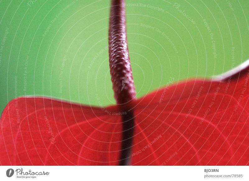 achtung: Giftig #2 Flamingoblumen Aronstabgewächse Pflanze Hochformat vertikal Blüte Zierpflanze Zimmerpflanze Hintergrundbild Blütenblatt Blume Botanik