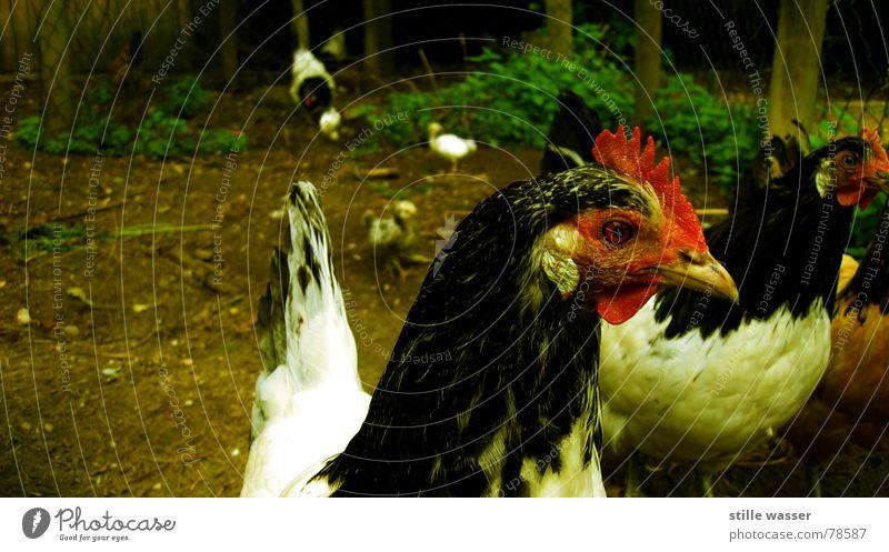 GOCKEL CONSTANTIN Vogel Ei Haushuhn Stall Hahn Kamm Tier freilaufend Vogelgrippe