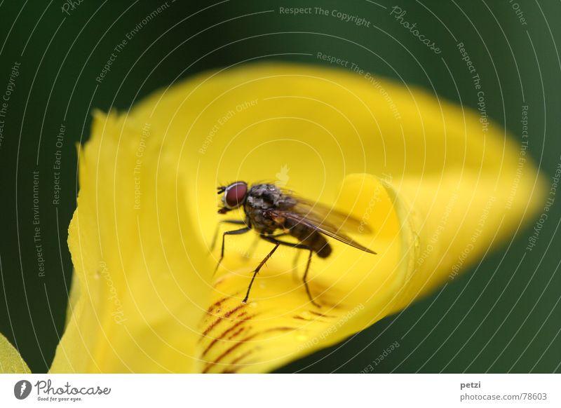 Annäherung Pflanze Blume Tier gelb Garten Beine Fliege Streifen Flügel Neugier gekrümmt gerollt Facettenauge Härchen circa