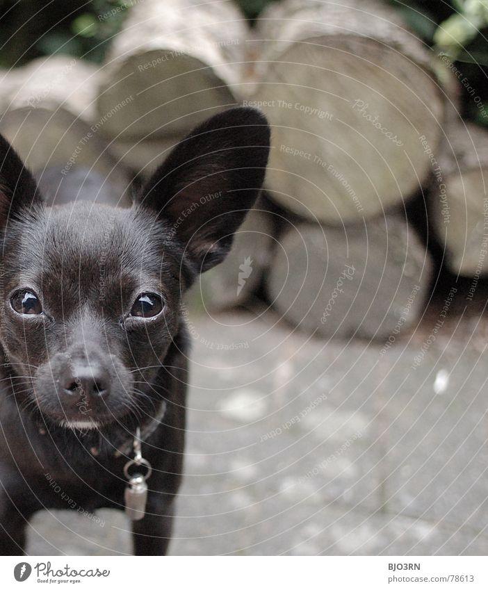 Holz und Hund bissig Quadrat Format Macht Farbfoto klein unschuldig schwarz braun grau Halsband Schnauze Tier Haustier Säugetier kompakt bellen groß neo