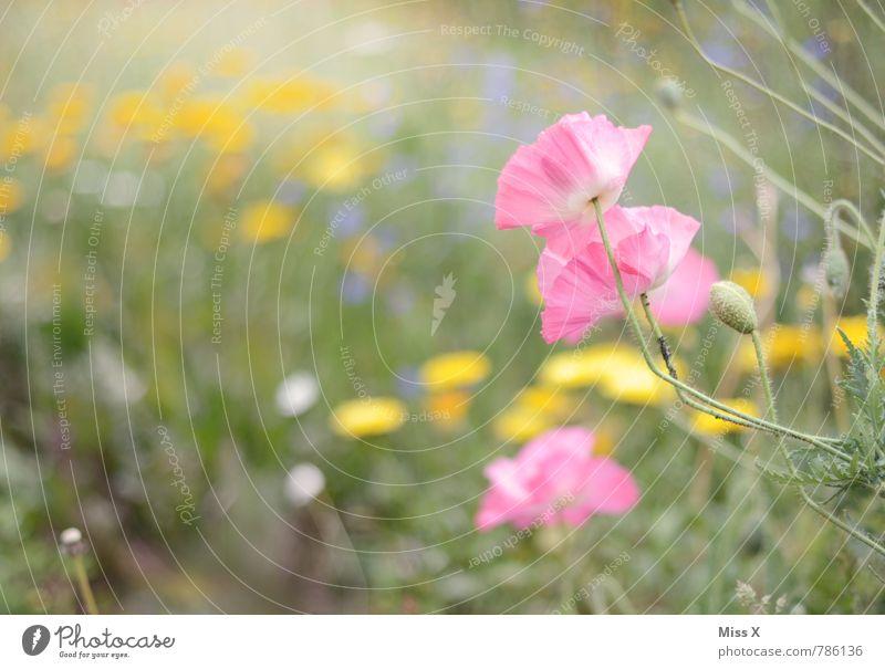 Mohn Garten Natur Pflanze Frühling Sommer Blume Blüte Blühend Wachstum rosa Mohnblüte Mohnfeld Blumenwiese Beet Farbfoto mehrfarbig Außenaufnahme Nahaufnahme