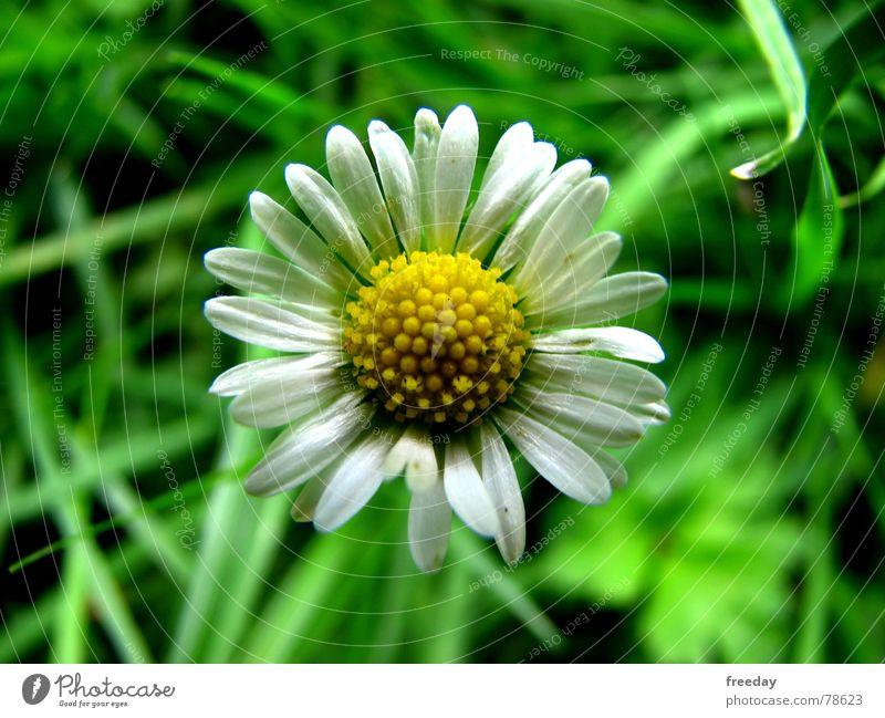 ::: Gänseblümchen ::: Natur Ferien & Urlaub & Reisen Pflanze grün schön Sommer Blume Einsamkeit Freude gelb Leben Blüte Frühling Wiese Gras Glück