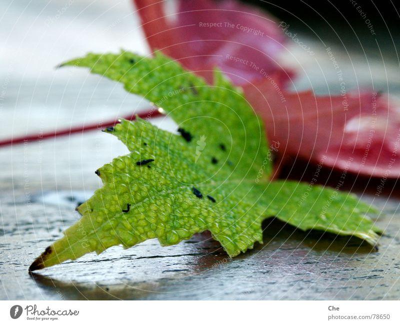 Auch Blätter weinen... Endstation Niedergang Blatt Herbst Trauer rot grün Hoffnung dunkel Baum Sorge Abschied Geburt Pflanze untergehen Ziel Beerdigung Ende