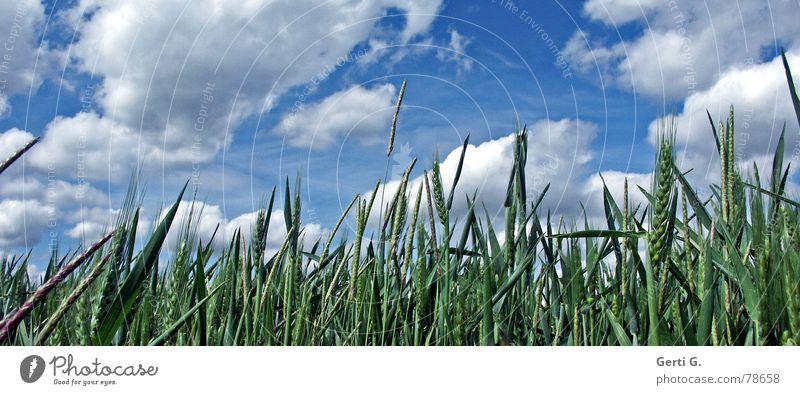frisch°fröhlich°frei Fröhlichkeit Ferne feucht finden Kornfeld Wolken himmelblau weiß Altokumulus floccus Ähren Gras Feld Gerste Roggen Stroh Hafer grün