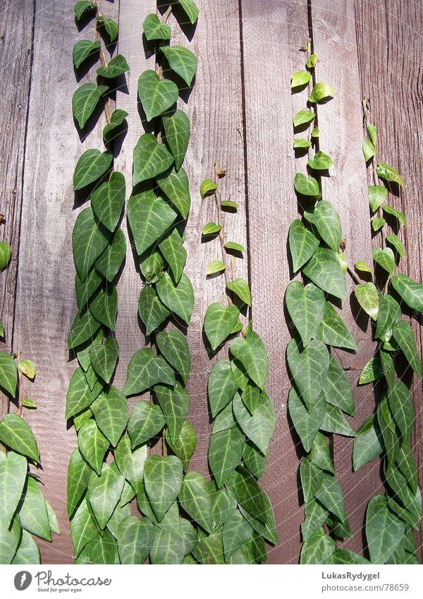 Hedera helix Natur grün Pflanze Blatt Farbe Erholung Wand oben Garten Holz Park braun Wachstum Klettern Schnur Teilung