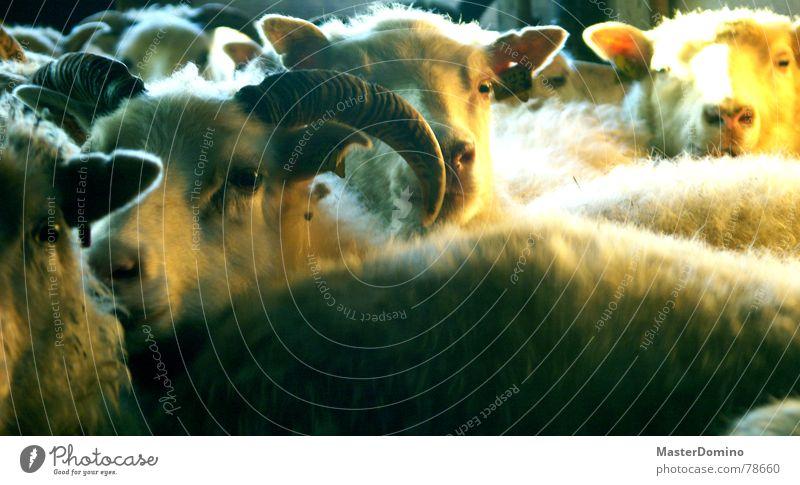 ausdrucken, zählen, einschlafen Auge Tier Ohr Bauernhof Amerika Schaf Horn Säugetier Schnauze ländlich Wolle