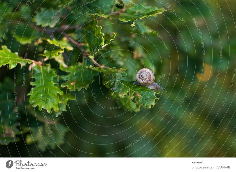 Fauna auf Flora Natur Pflanze Tier Blatt Eiche Eichenblatt Schnecke Schneckenhaus 1 sitzen grün kriechen rund oben Farbfoto Außenaufnahme Textfreiraum rechts