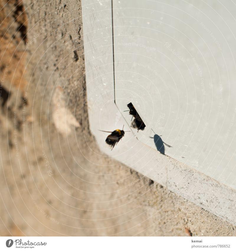 Heimkommen Dorf Mauer Wand Tier Nutztier Wildtier Biene Flügel Hummel Insekt 3 Tiergruppe Loch Eingang fliegen sitzen warten Reihenfolge Farbfoto
