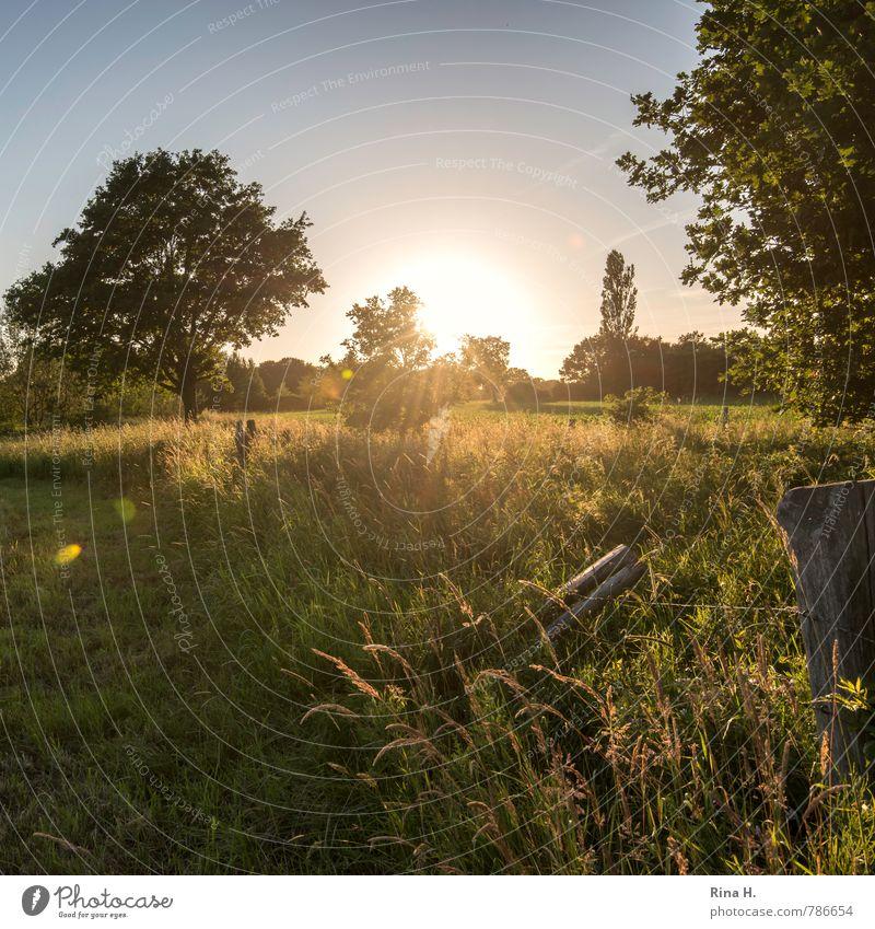 Letzte Sonnenstrahlen II Sommer Natur Himmel Wolkenloser Himmel Sonnenlicht Schönes Wetter Baum Gras Sträucher Wiese Feld leuchten natürlich Zufriedenheit ruhig