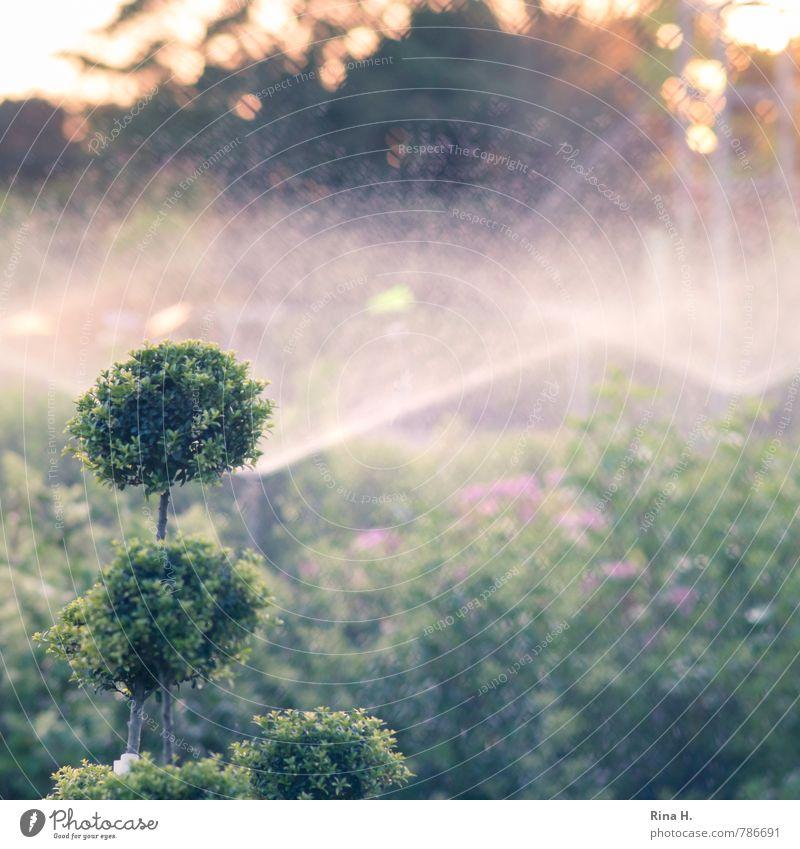 TrockenPeriode Sommer Gartenarbeit Natur Klima Schönes Wetter Wärme Pflanze Sträucher grün Bewässerung gießen Gärtnerei Buchsbaum Baumschule sprühen Dürre