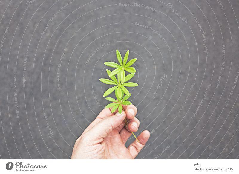 waldmeister Kräuter & Gewürze feminin Hand 1 Mensch 30-45 Jahre Erwachsene Pflanze Grünpflanze Nutzpflanze Wildpflanze Waldmeister ästhetisch frisch Gesundheit