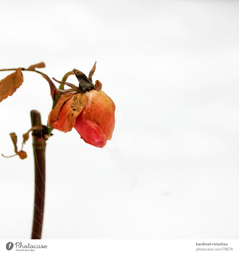 Schneeweißchen und Rosenrot rot Winter Schnee Tod Blüte Rose Hoffnung Trauer Vergänglichkeit zart Schmerz überwintern verblüht getrocknet trösten