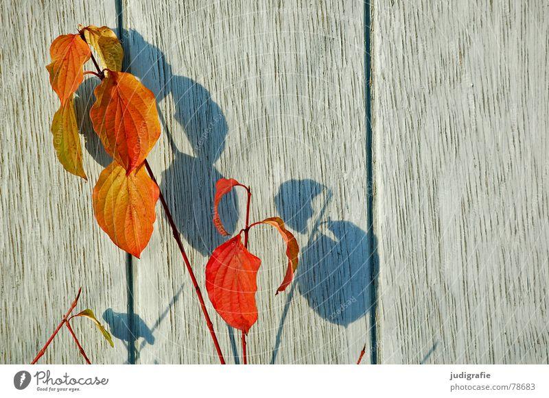 Schattengewächs Natur grün blau Pflanze Blatt Herbst Wand Holz hell orange Wachstum verfallen Holzbrett Botanik verdunkeln Pflanzenteile
