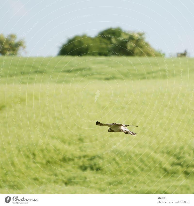 Tiefflieger Natur grün Pflanze Sommer Landschaft Tier Umwelt Frühling natürlich Freiheit fliegen Vogel Feld Wildtier frei tief