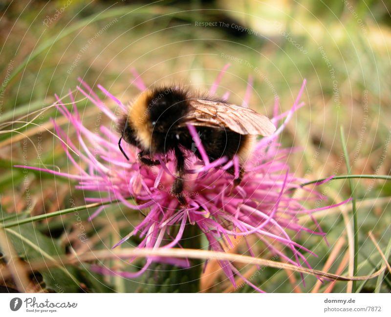 fleißiges Bienchen Natur Blume schwarz gelb rosa Biene fleißig