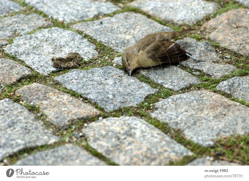 Tod Tier Straße Leben Stein Traurigkeit Vogel Trauer trist Ende liegen Vergänglichkeit Kopfsteinpflaster Spatz Sperlingsvögel