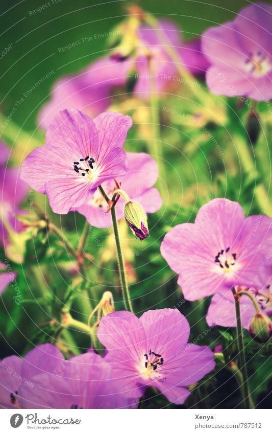 Storchenschnabel Umwelt Natur Pflanze Frühling Blume Blatt Blüte Garten Park Wiese Blühend grün violett Frühlingsgefühle sommerlich Sommer retro Außenaufnahme