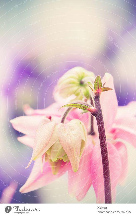 Zartschmelzend Natur Pflanze Blume Frühling Blüte Garten rosa Blühend violett zart Pastellton
