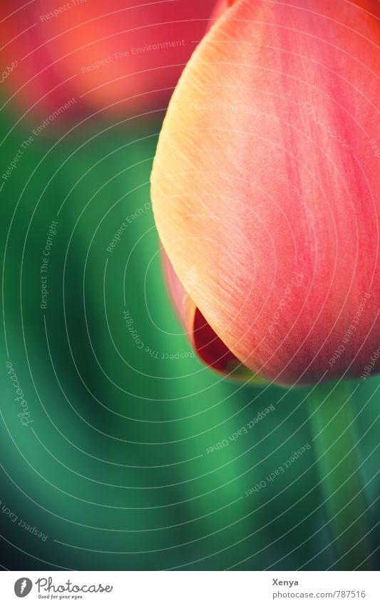 Gartenschönheit Pflanze grün Baum rot Frühling orange ästhetisch Blühend Tulpe Frühlingsgefühle Frühlingsblume