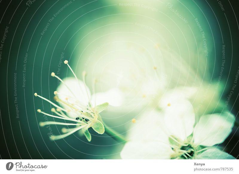 Erleuchtet Umwelt Natur Pflanze Blume Blüte Garten Blühend grün weiß Romantik Traurigkeit erleuchten Staubfäden Farbfoto Gedeckte Farben Menschenleer