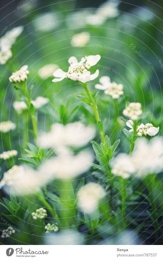 Ganz in Weiß-grün Natur Landschaft Pflanze Frühling Blume Blatt Blüte Garten Wiese Blühend frisch weiß Frühlingsgefühle ruhig saftig Außenaufnahme Menschenleer