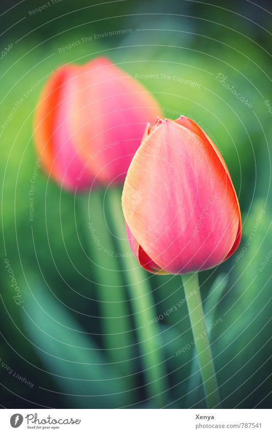 Zwei Natur Pflanze grün rot Blume Freude Frühling Blüte Garten Park orange ästhetisch Blühend Duft Tulpe Frühlingsgefühle