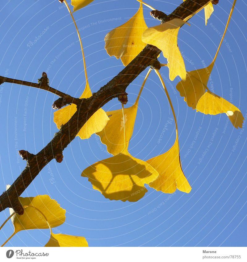 Gingkoblätter Leuchtkraft Ginkgo Herbstlaub Blatt Baum Jahreszeiten gelb Asien herbstsonne blau Schönes Wetter Kontrast