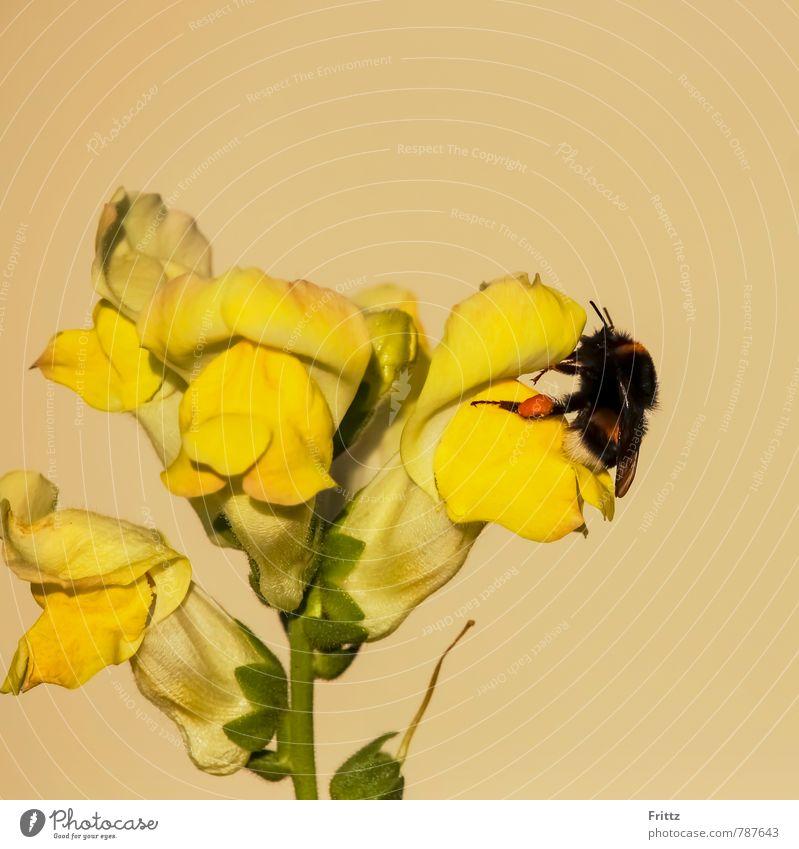 Löwenmaul - Hummel Natur Pflanze Tier Blume Wegerichgewächse Lippenblütlerartige Antirrhineae Antirrhinum Löwenmäuler Wildtier Flügel Apidae Dunkle Erdhummel