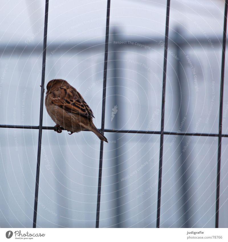 Dresdner Spatz Feder Bauzaun Zaun Vogel Licht klein Tier braun ruhig Ornithologie Lebewesen Haussperling Trauer Dresden Verkehrswege sitzen Schatten Traurigkeit