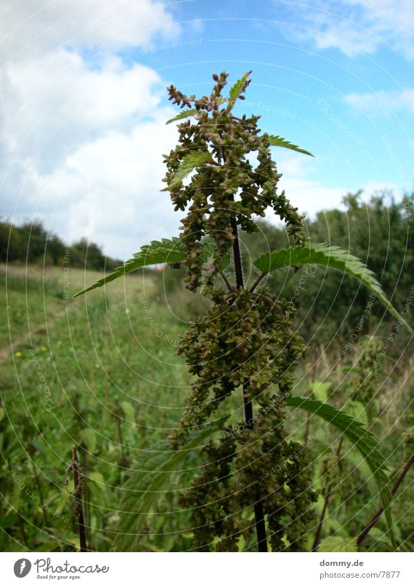 no-hemp !!! Natur Pflanze Brennnessel Brennnesselblatt