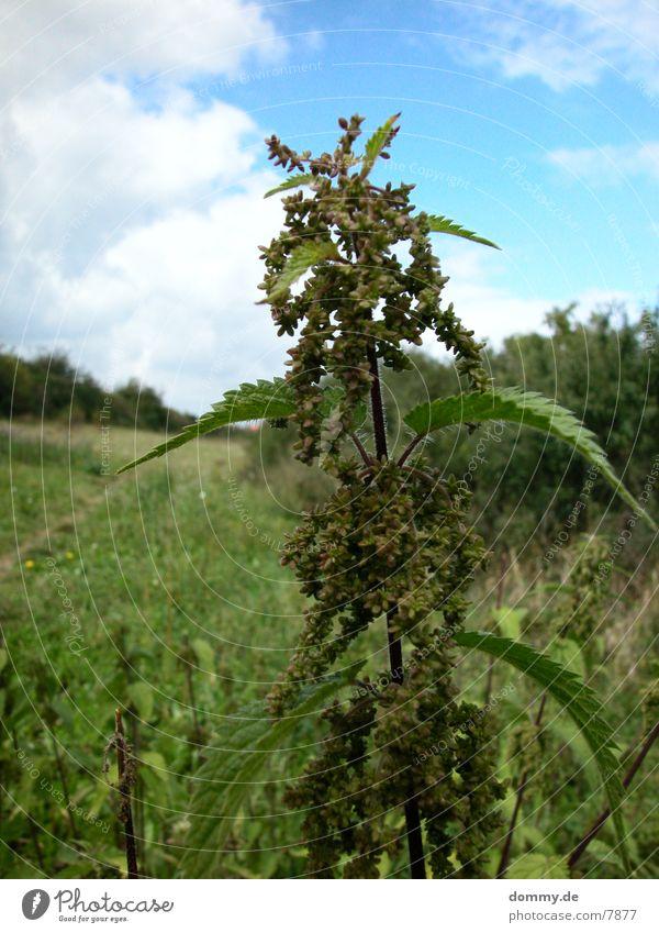 no-hemp !!! Pflanze Natur Brennnessel Brennnesselblatt