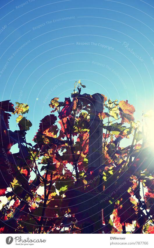 Weinberg Himmel Natur Pflanze blau Erholung rot Umwelt Leben natürlich Zufriedenheit Feld leuchten Kraft Fröhlichkeit Sträucher genießen