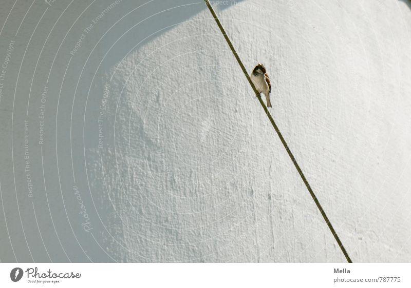 Spatzensommer Seil Umwelt Tier Stadt Menschenleer Mauer Wand Wildtier Vogel Haussperling 1 Linie hocken sitzen dünn natürlich Neugier niedlich weiß Natur