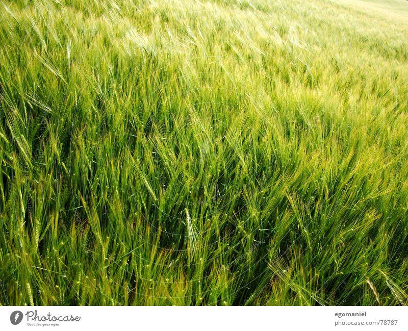 Getreide im Wind Roggen Weizen Gerste Frühling Feld Landwirtschaft Wachstum Ackerbau Außenaufnahme Pflanze grün Wiese Lebensmittel anbauen wachsen lassen Ernte