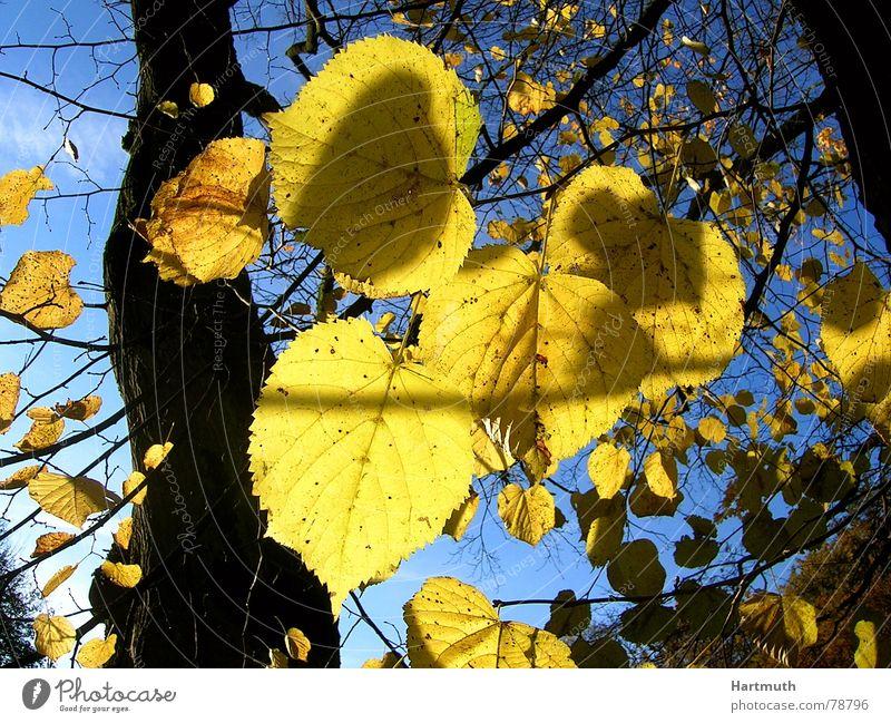 Blattgold Herbstlaub Lindenblatt hell Garten Park laub vor blauem himmel letzte blätter laub im gegenlicht gelbe blätter