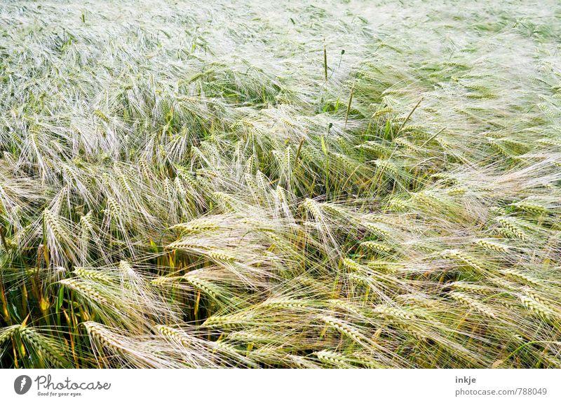 Feld Lebensmittel Getreide Ernährung Feldarbeit Landwirtschaft Forstwirtschaft Umwelt Natur Frühling Sommer Nutzpflanze Roggen Kornfeld Roggenfeld Roggenähren