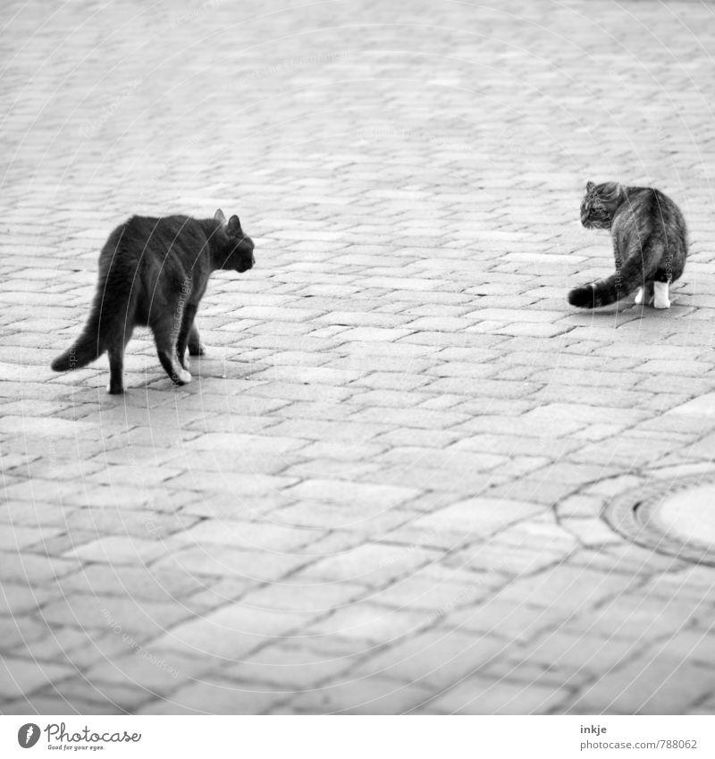 Straßenkreuzer Tier Menschenleer Platz Einfahrt Haustier Katze Hauskatze 2 Bodenplatten Gully Stein gehen Kommunizieren laufen stehen Konflikt & Streit
