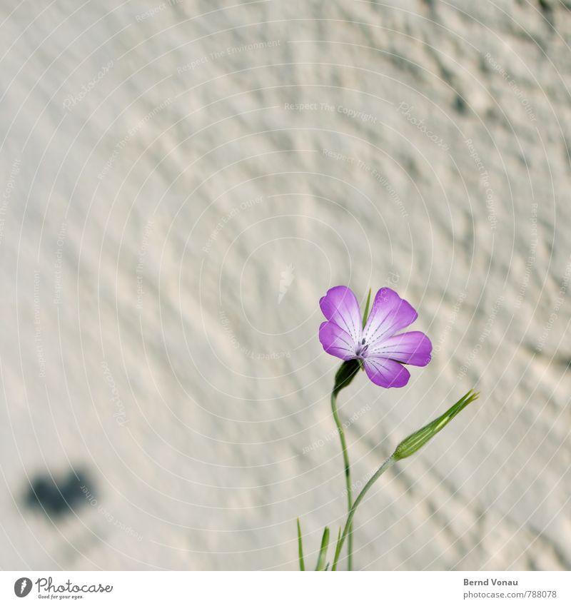 schattendasein Sonne Häusliches Leben Haus Garten Pflanze Blume Mauer Wand Wachstum werfen grün violett Putz rau einzeln Schattendasein zart Nelkengewächse