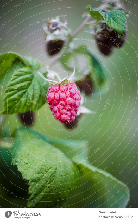 Himbeere Lebensmittel Frucht Ernährung süß lecker Bioprodukte Beeren Vegetarische Ernährung Himbeeren Fingerfood Slowfood anbauen Beerensträucher