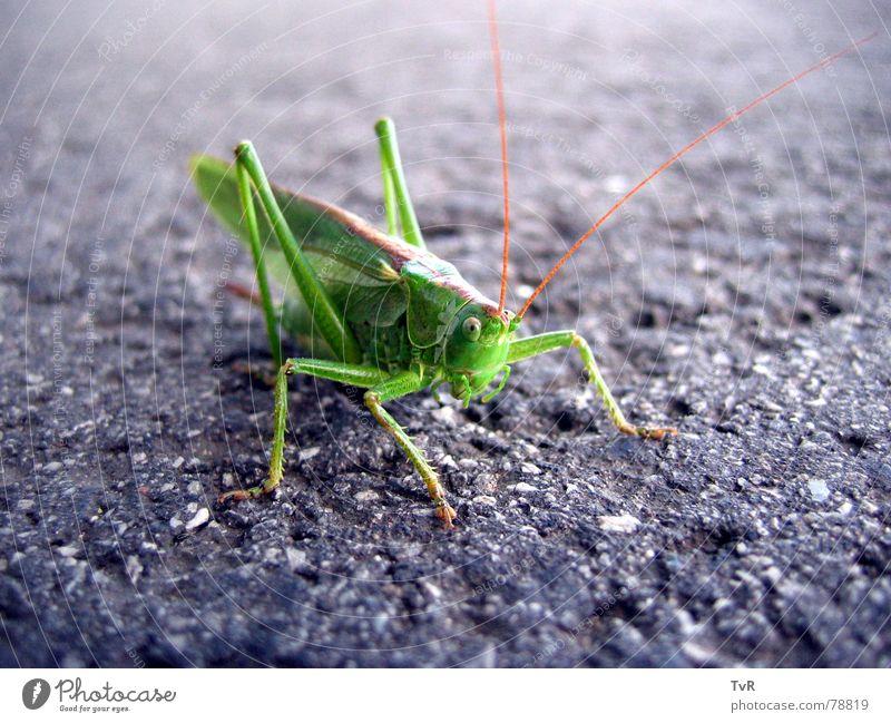 Heupferd grün Straße Asphalt Insekt hüpfen Heuschrecke Grünes Heupferd