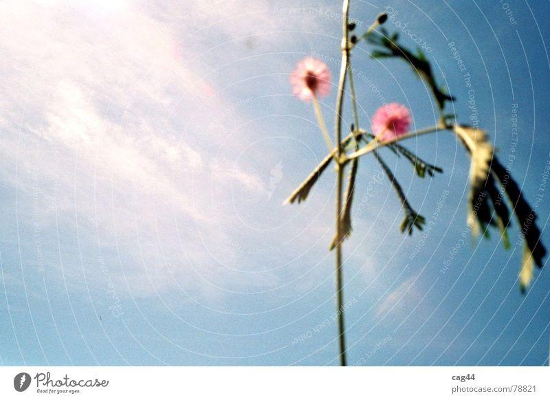 Mimosa Pudica Mimose Pflanze Wolken Blume Blüte Botanik grün Himmel Licht Natur blau Freisteller Textfreiraum links Blühend Sonnenlicht