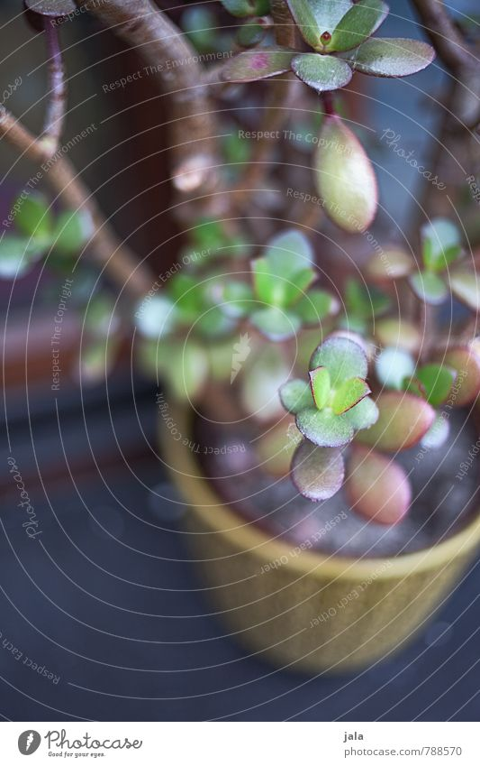 pfennigbaum Pflanze schön ästhetisch Grünpflanze Zimmerpflanze Topfpflanze Sukkulenten